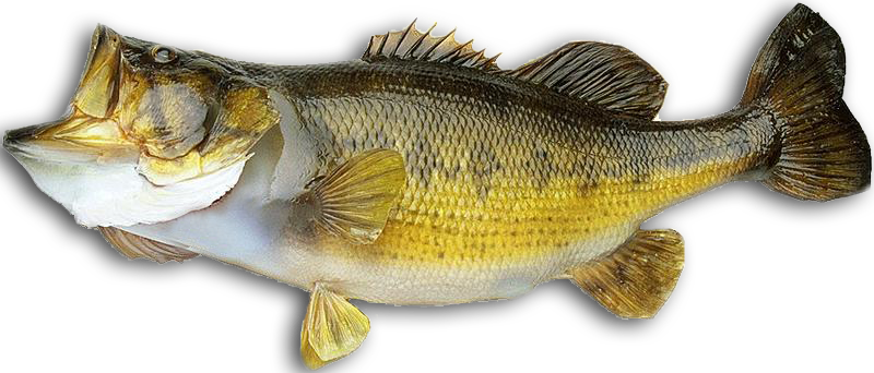 Koloa bass fishing kalaheo hi 96741 for Pictures of bass fish